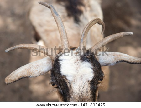 Four horn goat  (Capra aegagrus hircus) face closeup portrait. Polycerates (many-horned) are animals with more than two horns. Sal, Cape Verde Islands, Africa. #1471893425
