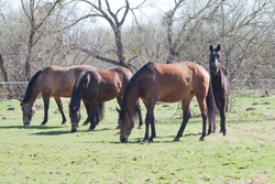 Four horses graze in the pasture