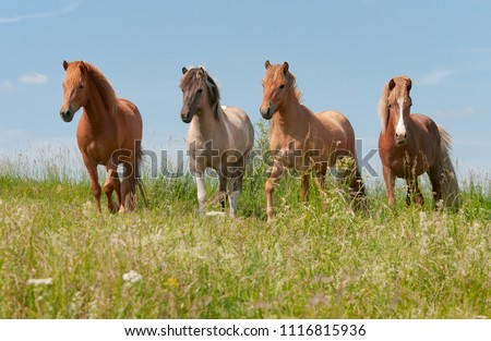 Four Icelandic horses standing in a green grass meadow in front of blue sky, alert young stallions with different coat colors, chestnut, mouse dun tobiano and red dun, Germany
