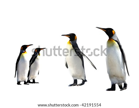 four king penguins isolated on white background