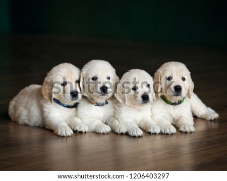 Four Labrador puppies