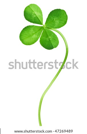 Four Leaf Clover isolated on white - stock photo