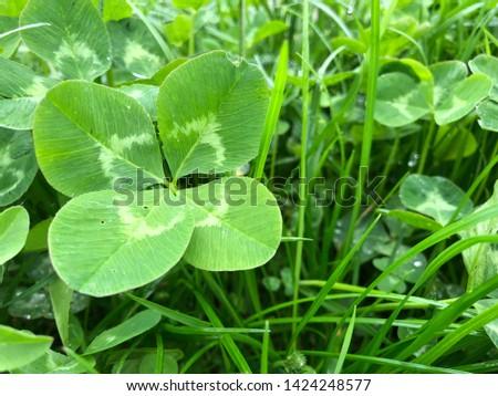 Four-Leaf Clover Leaf in Green Grass #1424248577