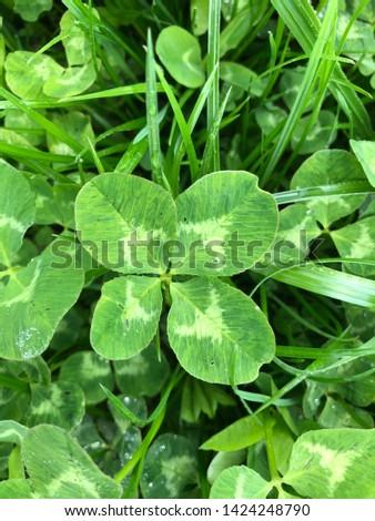 Four-Leaf Clover Leaf in Green Grass #1424248790