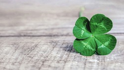 four-leaf clover on gray background, authentic green shamrock with four leaves on old grey wood