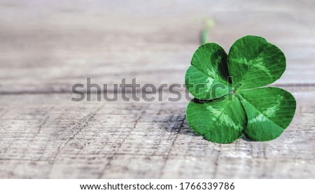 four-leaf clover on gray background, authentic green shamrock with four leaves on old grey wood Сток-фото ©