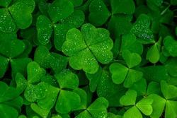 four leaf clover on green shamrock background