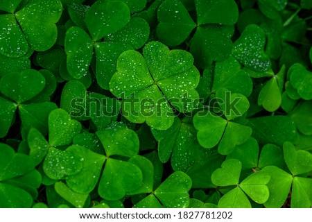 four leaf clover on green shamrock background Сток-фото ©