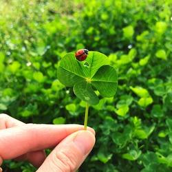 Four-leaf clover with a ladybug. Lucky charm.