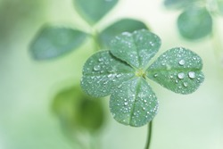 Four-leaf clover with drops