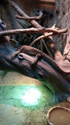 Four-legged scaly reptile group lizards similar to snakes, often appearing in residential areas.