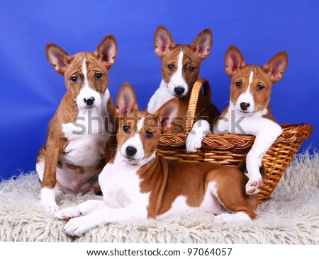 Four little Basenji puppys, 2 month, on the blue background