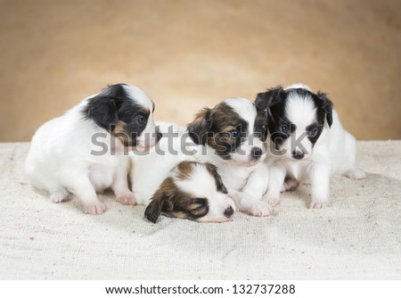 Four little Papillon puppy on a beige background