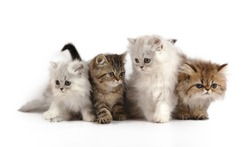 four little persian kittens - grey, white and brown colors