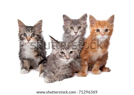 Four main coon kittens in a row isolated on a white background