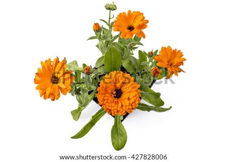 Four marigold flowers calendula officinalis with leaves in four marigold flowers calendula officinalis with leaves in flowerpot isolated on white mightylinksfo
