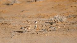 Four Meerkat running away  in Kgalagari transfrontier park, South Africa ; specie Suricata suricatta family of Herpestidae