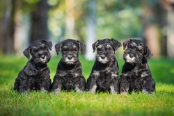 Four miniature schnauzer puppies sitting on the lawn