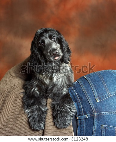 Four month old cute cocker spaniel puppy dog leaning on his boss\'s back