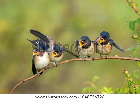 Four nestling barn swallows (Hirundo rustica) waiting for their parents sitting on a branch on a beautiful green background. - Shutterstock ID 1048736726