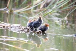 Four nestling fulica atra birds stand on a tree log. Green reeds are reflected in the water.