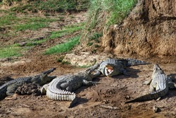 four Nilcrocodile with their mouths wide open on the muddy, dusty bank of the Mara River in the sun, in the background the steep, grassy river bank