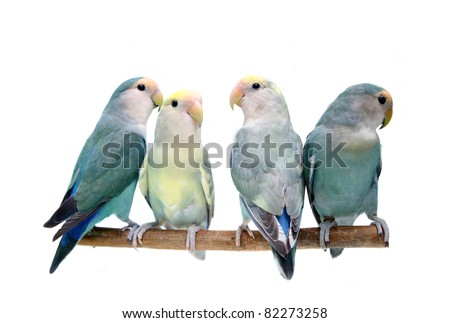 Four of Peach-faced Lovebirds (Agapornis roseicollis motley clarified blue and blue morphs) on the white background
