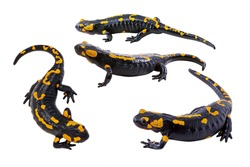 Four pictures of Fire salamander with different angles. a species of True salamanders, Amphibian reptile, wildlife animals