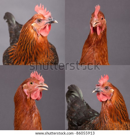 Four pictures of two beautiful chickens