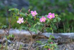Four pink blooms of prickly wild rose in Alaska