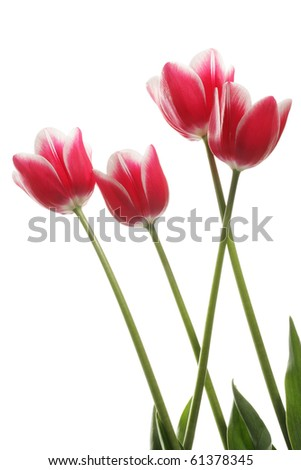 Four pink tulips on a white background. Clipping path