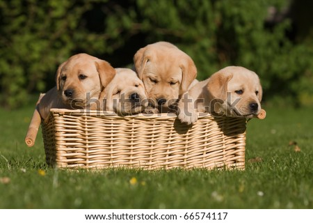 four puppies are sitting in a basket