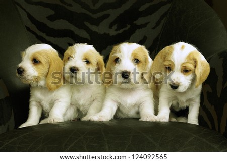 Four puppies of the breed Petit Basset Griffon Vendeen.