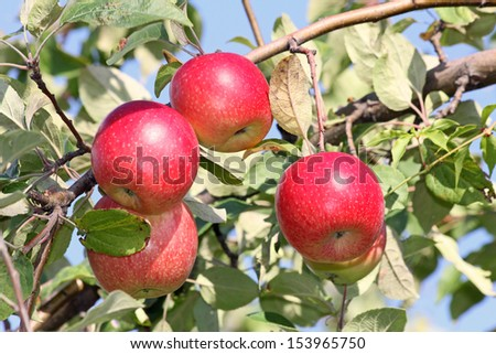 Four red apples on tree