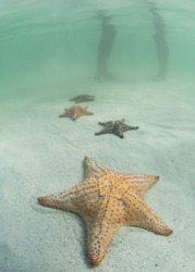 Four Red Cushion Starfish in the shallow Caribbean Sea at Starfish Point in Grand Cayman
