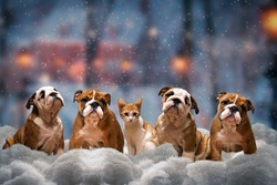 Four red dog, a breed of English bulldog and red cat sitting on the snow under the falling snow