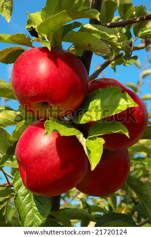 Four red shiny delicious apples hanging from a tree branch in an apple orchard
