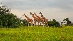 four Rothschild Giraffe (Giraffa camelopardis rothschildi) in savannah, Murchison Falls NP, Uganda, Africa