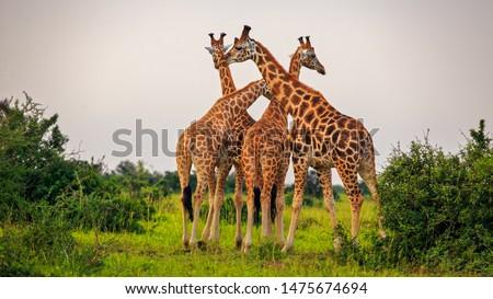 four Rothschild Giraffe (Giraffa camelopardis rothschildi) standing tall in Murchison Falls NP, Uganda #1475674694