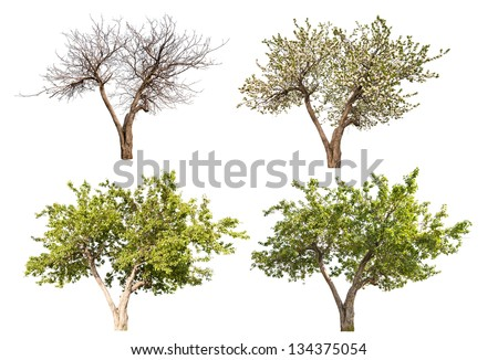 four seasons apple tree isolated on white background
