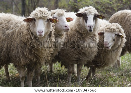 four sheep with the chips in your ear