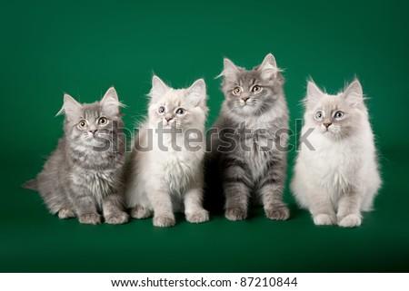 Four siberian kittens on dark green background
