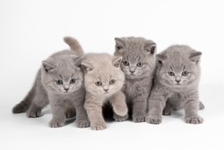 Four small british kittens on white background