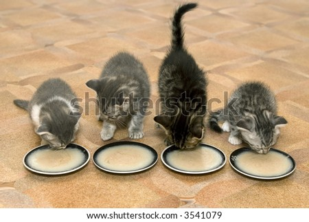 Four small kittens eat a milk porridge
