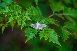 Four-spotted palpita moth also known as the crambid snout moth and jasmine moth