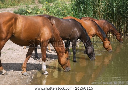 Four thirsty horses on the lake drinking water synchronously