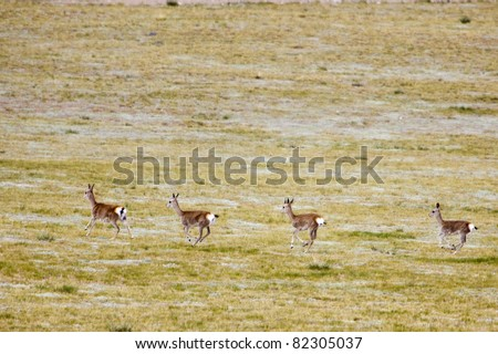 Four Tibetan gazelles running in the summer of China