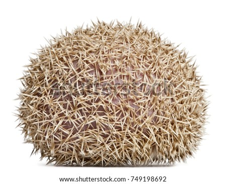 Four-toed Hedgehog, Atelerix albiventris, 2 years old, in front of white background #749198692
