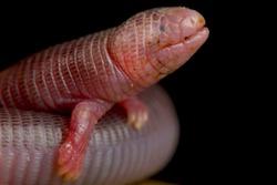 Four-toed Worm Lizard (Bipes canaliculatis)