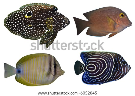 Four Tropical Fishes isolated on white